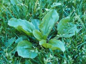 Broadleaf Plantain in lawns