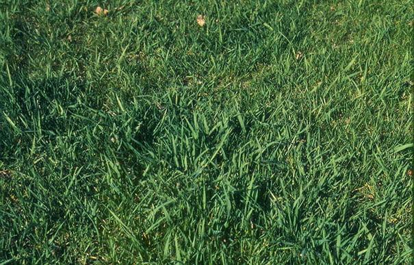 Quackgrass in Minneapolis Lawns