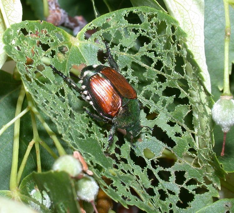 Jap Beetle in MN Lawns