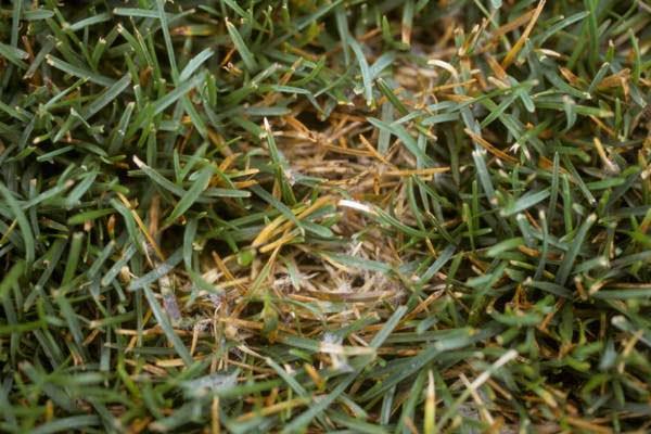 Minneapolis Leaf Spot Lawn