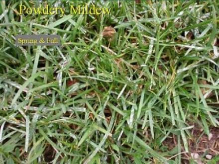 MN Lawn Powdery Mildew