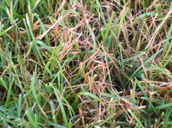 Red Thread in MN Lawns